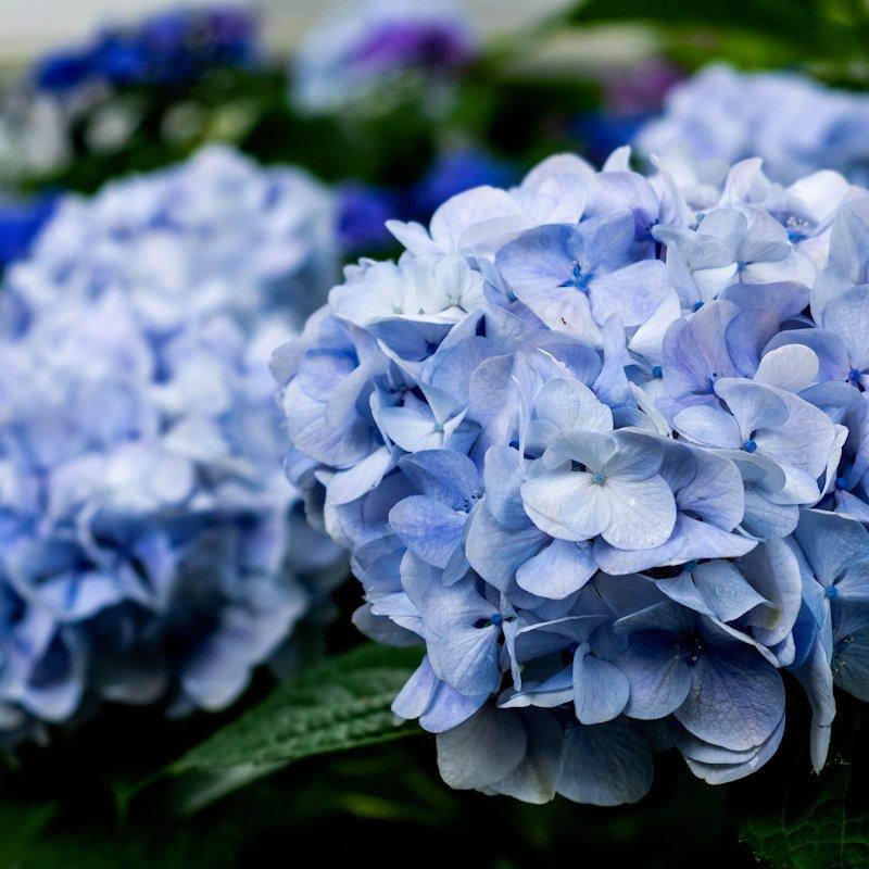 kyoto_flower_blue