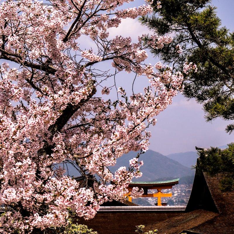 miyajima_sakura_landscape